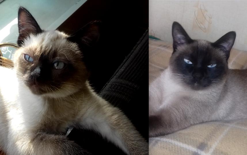 хочу познакомить вас с моей грациозной красавицей Никой. Сейчас кошке сиамской породы 2 года и 3 месяца.. Фото Павленко Наталия