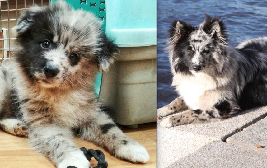 Собака Лилу, метис бордер-колли и кеесхонда. На первом фото ей два месяца, когда она помещалась в кошачью переноску. Теперь это зверь триннадцать килограмм и возраст десять месяцев. Общительная, ласковая девочка. Мы ее очень любим. Фото Ольга Шмакова