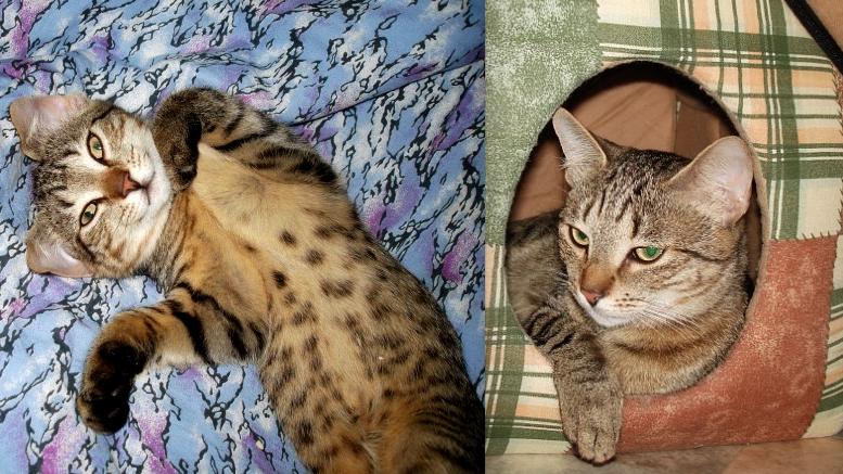Кошку зовут Куська, пришлось переименовать, поскольку думали что кот Кузя :) 8 лет Ловит мышей исправно, поскольку из деревни, у них это в крови - ловить и есть мышей. Привезли из Карелии. Беспородная, но возможно мешаная, поскольку очень крупная. Фото Ольга Земскова