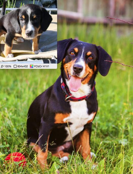 Это фото моей собаки швейцарской породы энтлебухер зенненхунд кличка Кимберли в возрасте 3-х месяцев и 8 лет. Замечательное животное: друг, компаньон, моя любовь!. Фото Медникова Лариса Аркадьевна