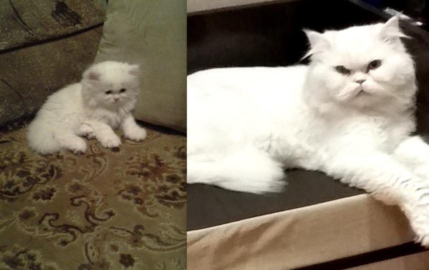 Это мой кот Тим Дикей! Ангорский перс! Ведет себя точно так же ))) сейчас ему 2 года!. Фото Нелепенко Ольга