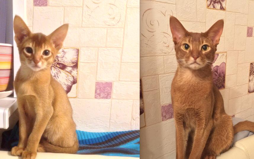 Кот Помпон, 2.5 года, порода : Абиссинская.. Фото Анисимов Владислав.