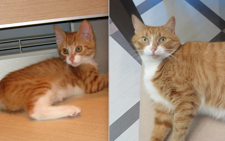 Рыжее солнышко по имени Марсик полноправный член нашей семьи,- хозяин в доме. Мы взяли его в добрые руки 6 лет назад, когда ему было 3 месяца (на первом фото), весил он всего 500 граммов, а теперь он вырос- 8 кг рыжего счастья!. Фото Майя Талызина