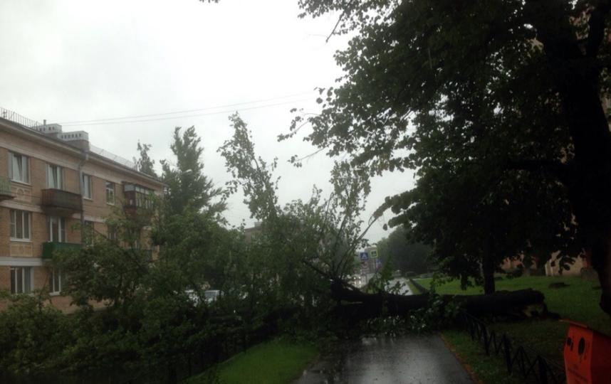 В Новом Петергофе дерево упало на дорогу. Фото https://vk.com/spb_today