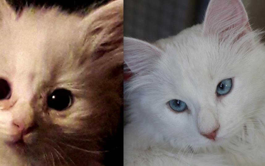 Котенка подобрал мой сын на помойке. Оказалась кошечка. Назвал ее Лилит, но я зову ее Лилия. На первых снимках котенку около 1 месяца, такой я ее увидела впервые. Сейчас ей около 9 месяцев. Очень умная, игривая, ласковая и разговорчивая... Очень любит причесываться, сидеть на задних лапах, прыгает через обруч, любит играть с мышками. Фото Наталия Брукмюллер