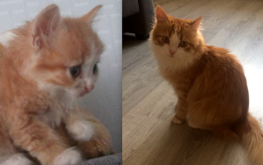 Приютили маленького котёнка, полулысого от лишая. Выросло вот такое полудлинношерстное рыжее чудо неопределённой породы. Недавно коте Оливеру исполнился год.. Фото Чернышёва Нина