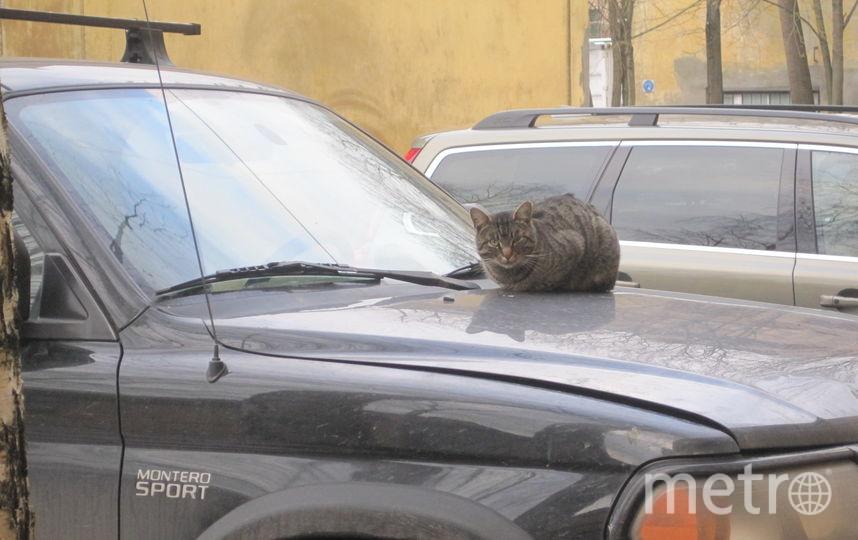 Этот серый Кот совсем не прост, и автомобиль он выбрал также непростой. Проживает он в НПО ЦКТИ (Научно-производственное объединение «Центральный котлотурбинный институт имени И.И.Ползунова»). Хотя имя Кота и неизвестно, но он точно учёный, так как выбрал автомобиль, принадлежащий известному ученому, доктору технических наук. Вот такой симбиоз учёных!. Фото И.Крюков