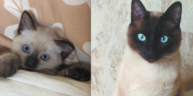 Тайский кот по кличке Шульц. Ему 2 года, а на первой фотографии 2 месяца. Шуня дисциплинированный, воспитанный котик, умеет служить и подавать лапу.