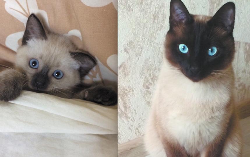 Тайский кот по кличке Шульц. Ему 2 года, а на первой фотографии 2 месяца. Шуня дисциплинированный, воспитанный котик, умеет служить и подавать лапу. Фото Александра Кузьмина