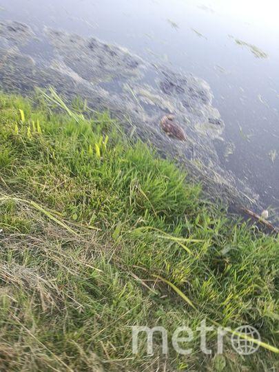 В Петербургской реке Новой погибли утки вместе с потомством. Фото ДТП и ЧП | Санкт-Петербург | Питер Онлайн | СПб, vk.com