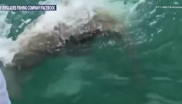 У берегов Флориды гигантская рыба проглотила акулу. Фото Все - скриншот YouTube