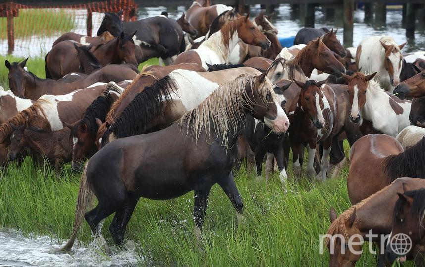 Пони переплыли расстояние между двумя островами. Фото Getty