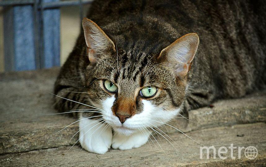 Токсопазма (Toxoplasma gondii) - внутриклеточный паразит, чаще всего обитающий в кишечниках кошек. Фото Pixabay