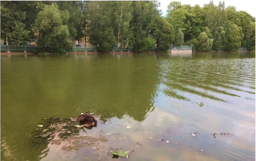 ВПетербурге утки умирают из-за токсинов отсине-зеленых водорослей— Смольный