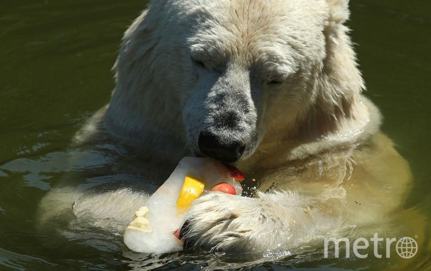 Жара в Берлине. Медведица Тоня есть лед с фруктами. Фото Getty