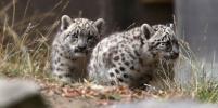 Милота: Детёныши снежного барса в зоопарке Сан-Франциско вышли к публике