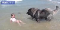 Пушистая помощь: Собака вытащила девочку из океанской волны