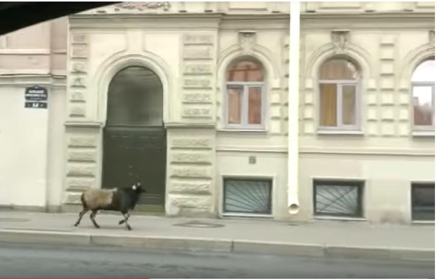 Баран бежал по тротуару 21 августа. Фото  YouTube / Alex Sher, Скриншот Youtube