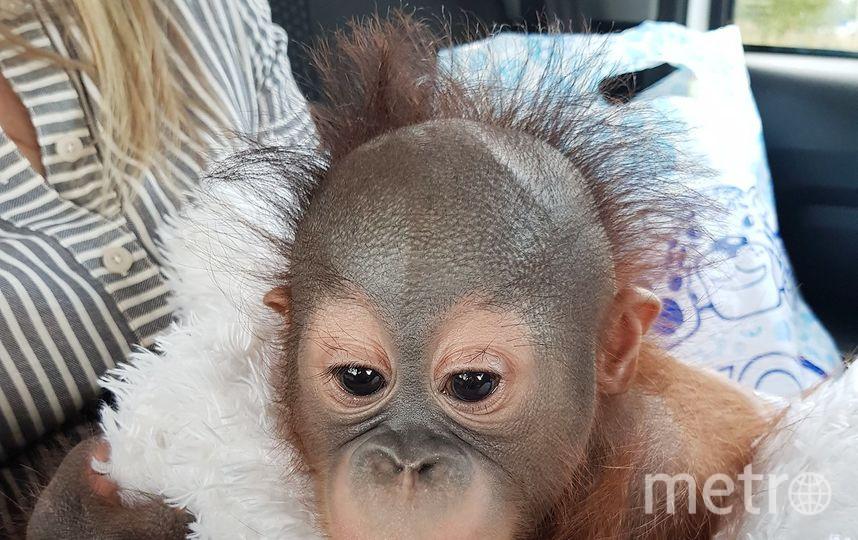 Четырехмесячный детеныш борнейского орангутана уже в Москве. Фото mos.ru