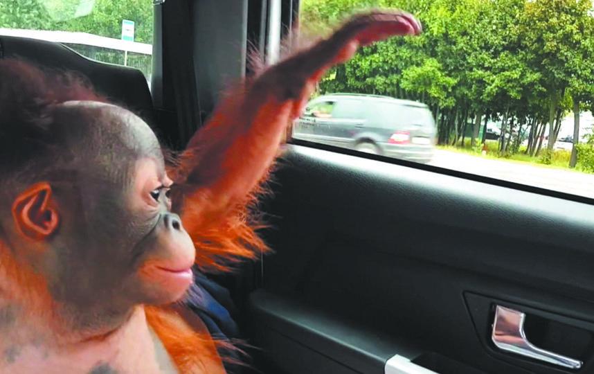 Четырехмесячный детеныш борнейского орангутана уже в Москве. Фото предоставлено пресс-службой московского зоопарка.