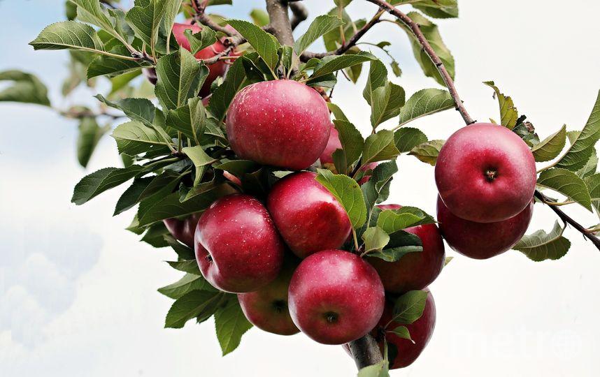 Яблоки растут на дереве, поэтому они не получают тех вредных веществ, которые могут накапливаться в почве, в том числе и нитратов. Фото Pixabay