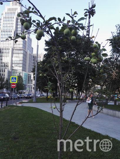 Фрукты из городских садов и парков могут быть опасны. Фото Василий Кузьмичёнок