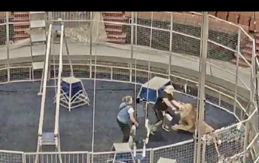В цирке лев напал на дрессировщика. Фото Скриншот Youtube