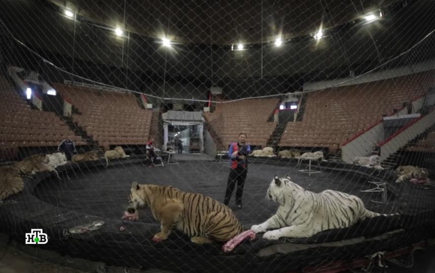 В цирке лев напал на дрессировщика. Видео нападения выставил Эдгар Запашный. На фото - кадр материала телеканала НТВ. Фото Телеканал НТВ., Скриншот Youtube