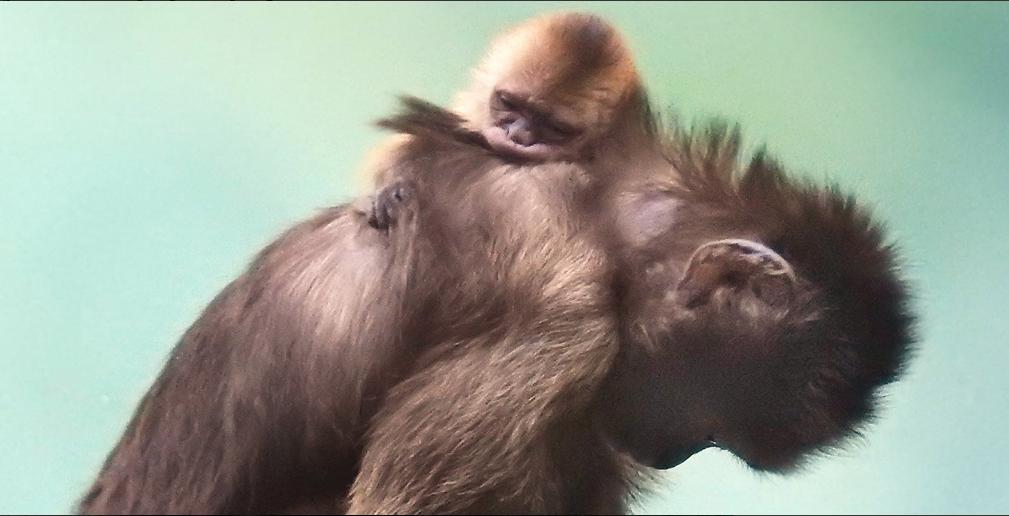 Капуцин плакса родился в Московском зоопарке. Фото Московский зоопарк, mos.ru