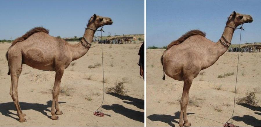 Тот самый верблюд: слева настоящий, справа - фальшивый. Фото Инстаграм-канал Wildviewing; сайт SNOPES.com