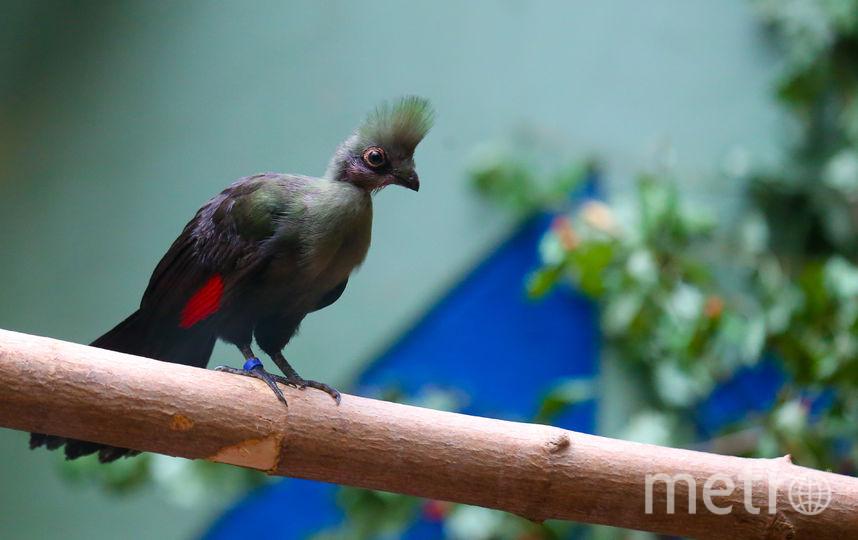 Птенцы гвинейских турако. Фото Василий Кузьмичёнок