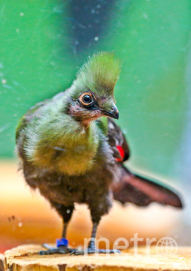 Гвинейские турако дали потомство в Московском зоопарке. Фото Василий Кузьмичёнок