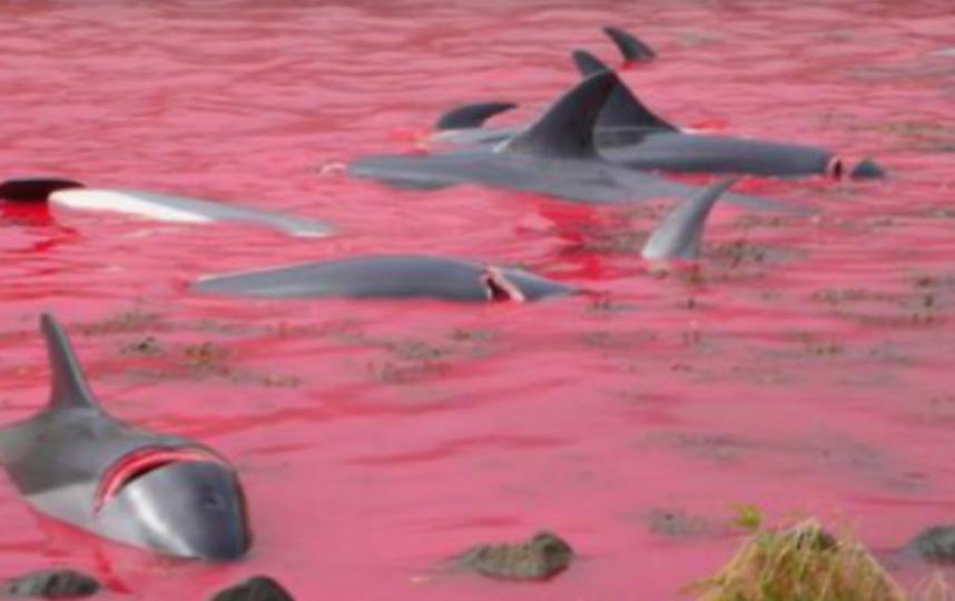 Акватория Фарерских островов стала красной из-за крови убитых дельфинов. Фото Все - скриншот YouTube