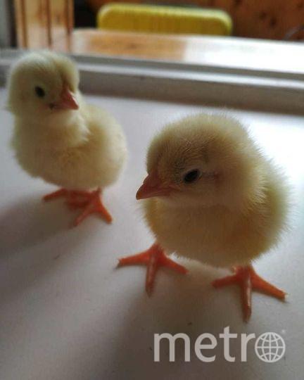 Молодая пара из Москвы вывела цыплят из обычных магазинных яиц. Фото из личного архива героини