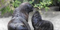 У северных морских котиков московского зоопарка пополнение. Малыша сняли на видео
