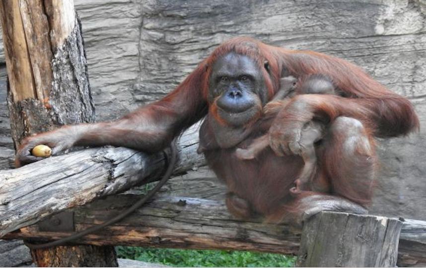 Борнейский орангутан родился в Московском зоопарке. Фото moscowzoo.ru