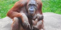 В Московском зоопарке родился борнейский орангутан. Малыша сняли на видео