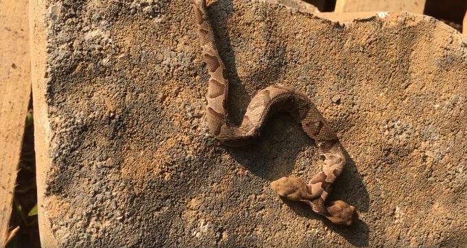 В США обнаружили редкую змею с двумя головами. Фото скриншот www.facebook.com/john.kleopfer