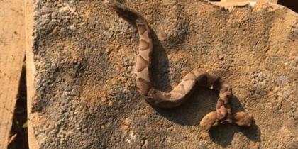 В США найдена змея с двумя головами (видео)