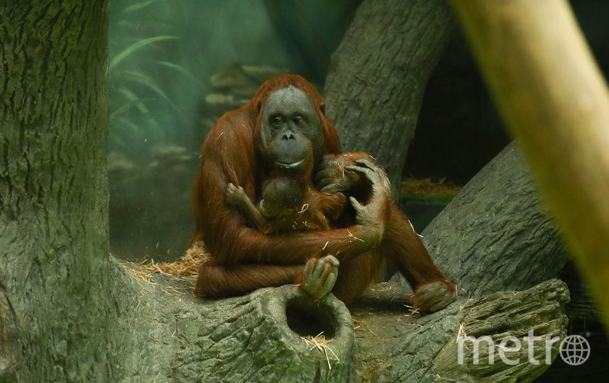 В Московском зоопарке родился детёныш борнейского орангутана Джелай. Фото Василий Кузьмичёнок