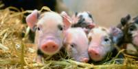 В Пензе свинья родила с помощью робота
