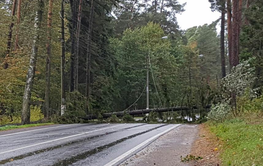 В поселке Репино рухнуло на дорогу дерево. Фото https://vk.com/spb_today
