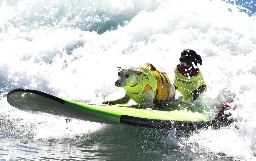 Соревнования по сёрфингу среди собак. Фото AFP