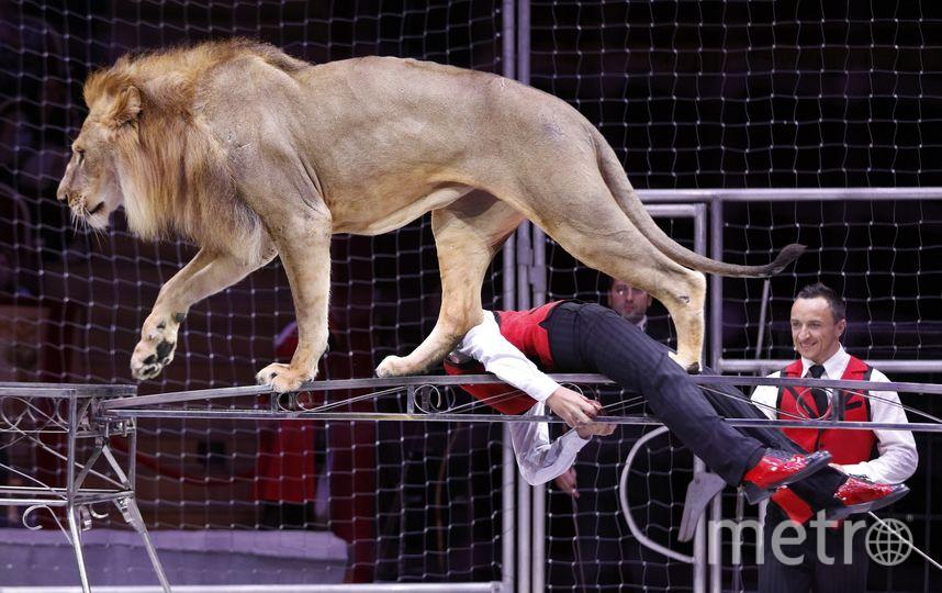 В Петербург приехал выступать один из самых юных дрессировщиков львов в мире – 14-летний Тимур Гончаров. Фото предоставлены Цирком на Фонтанке.