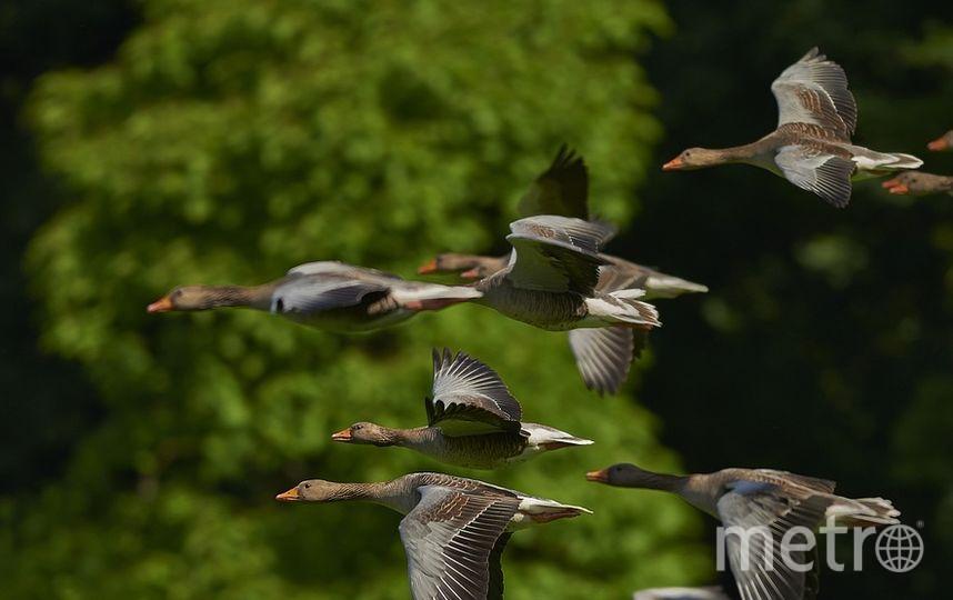 Над Петербургом пролетают транзитом птицы, зимующие на юге. Фото https://pixabay.com