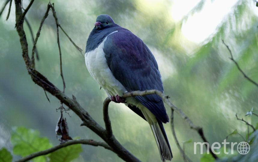 """Новозеландский плодоядный голубь """"кереру"""" стал птицей года. Фото Getty"""
