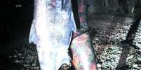 Тольяттинец убил гарпуном  гигантскую рыбу