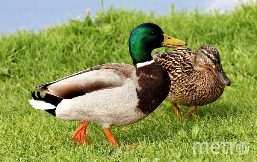 Яркое оперение самцов уток контрастирует с окрасом самок. Фото Pixabay