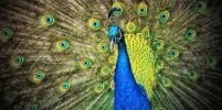 Яркая внешность у птиц является признаком бездарности, выяснили учёные