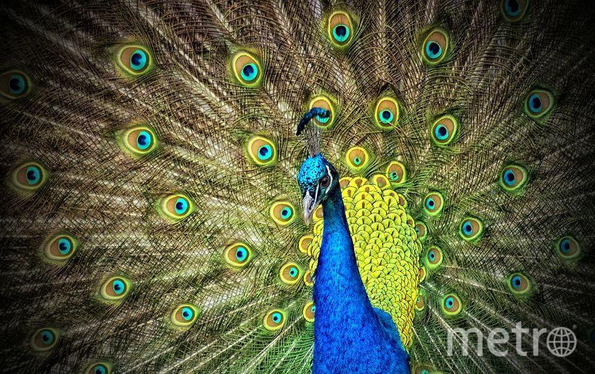 Пышным и разноцветным хвостом могут похвастаться только самцы павлинов. Фото Pixabay